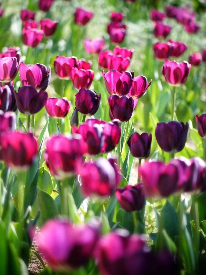 jaro tulipány
