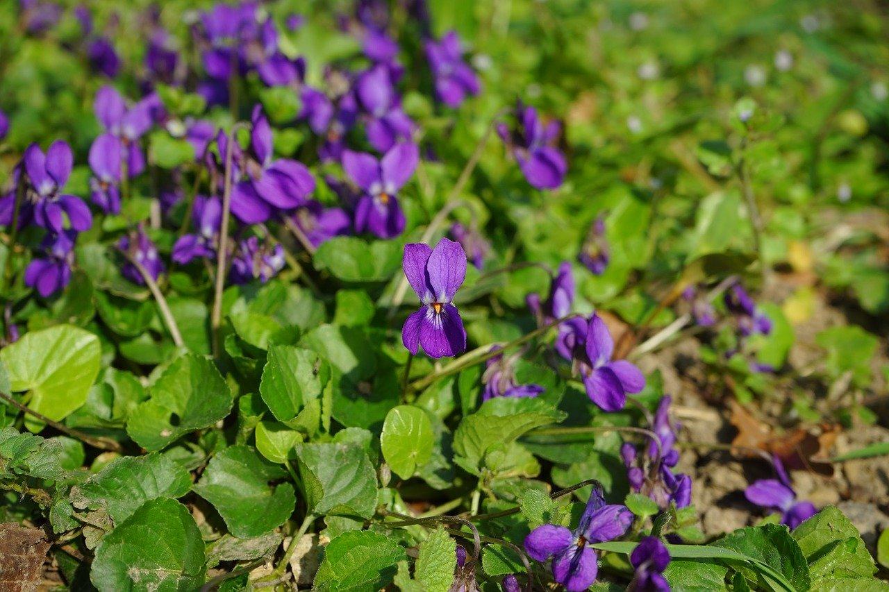 violka vonná (fialka)